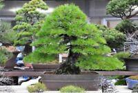 50Pcs Japanese Black Pine Tree Seeds Pinus Rare Viable Bonsai Potted Home Plant