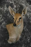 SKU 1641 African Duiker wall pedestal taxidermy mount Perfectly Symmetrical