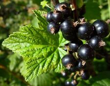 6 graines de CASSISIER (Ribes Nigrum)CASSIS H378 BLACK CURRANT SEEDS SAMEN SEMI