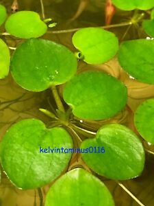 BUY ONE GET TWO FREE Amazon frogbit Live aquarium/Aquatic/Floating plant