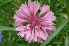 Bachelor Button- Cornflower- Pink- 200 Seeds- Bogo 50% off Sale