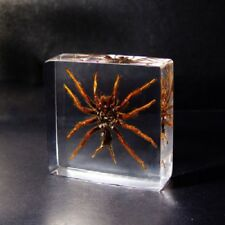 Real Tarantula Chinese Bird Spider Insect Paperweight Specimen Taxidermy - Med