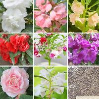 120× Bunte Garten Balsam Seeds Impatiens Balsamina Garten-Blumen Pflanzen S X0Y0