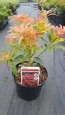 3 Large Pieris Forest Flame 2ltr