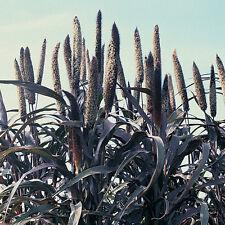 Perlhirse - Pennisetum glaucum-Purple Majesty- 25+ Samen - Wunderschöne Rarität!