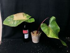 Philodendron Strawberry Shake, extremely rare huge mature plant