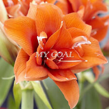 2Pcs Orange Sweet Amaryllis Bulbs Bonsai Plant Garden Hippeastrum Flower Seeds