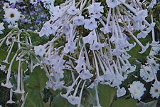50 Semillas Con aroma de tabaco,Nicotiana sylvestris#479