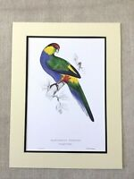 Antique Parrot Print Red Capped Parakeet Green Blue Exotic Birds Ornithology