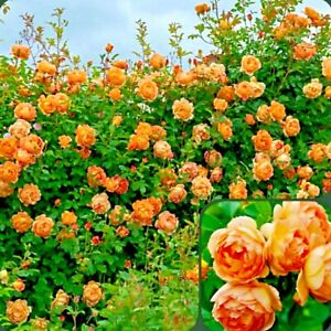 50+ ROSES flower rose plant fresh live plant rose seeds plant cuttings live seed