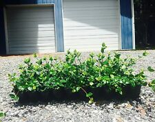 Asiatic Jasmine Minima - 30 Live Plants - Groundcover Asian Jasmine