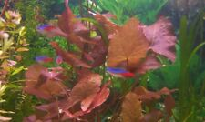 lotus rouge nymphea rubra nenuphar bulbe demarré  aquarium