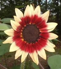 Sunflower Ruby Eclipse - Helianthus Annuus - 10 Seeds