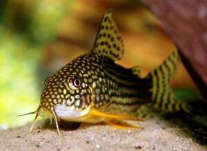 Corydoras Sterbai (Sterbai Cory Catfish) Single or Bundles