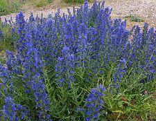 100 Graines Vipérine commune ,Viper's Bugloss  Echium vulgare seeds