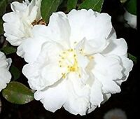 Camellia sasanqua 'White Doves' ('Mine-No-Yuki') ('Snow On The Mountain') Quart