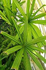Mangrove Fan Palm Licuala spinosa Palm plant tree 1 gal