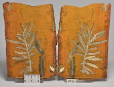 WOOLAMI PINE PAIR, AGATHIS JURASSICA FOSSIL, Talbragar Fish Beds, AUSTRALIA F230