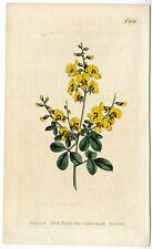 Antique Print-CYTISUS SCOPARIUS-COMMON BROOM-YELLOW-Edwards-Curtis-Sansom-1806