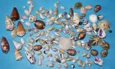 SEA SHELL  - LOT DECOUVERTE 150 COQUILLAGES DE 6 à 46 mm