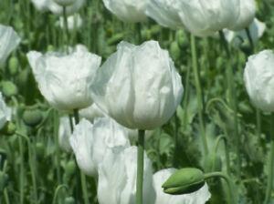 Weisser Mohn - Papaver somniferum - White Seeded Poppy 100+ Samen Saatgut Seeds