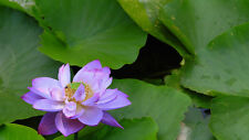 Liveseeds - Mini Purple Bonsai Lotus/ Water Lily Flower /5 Fresh Seeds