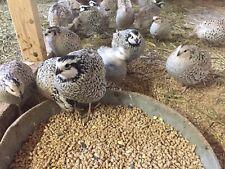 24+ Snowflake Bobwhite Hatching Eggs Shipping Now
