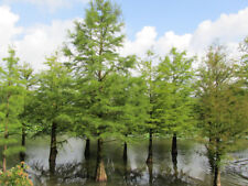 Swamp Cypress Tree x 10. 'Taxodium distichum' H:60-80CM. INCLUDES FREE DELIVERY