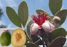 Ananas-Guave / frisches Obst Gemüse ernten auf dem Balkon für das Fensterbrett