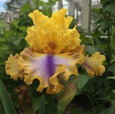 Tall Bearded Iris ~Good Morning Sunshine~