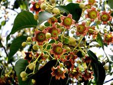 1 Plant Brachychiton Populneus albero a bottiglia Tree edible plant
