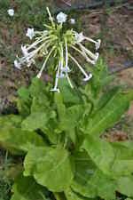 250 Semillas Tabaco de Bosque (Nicotiana  Sylvestris) seeds