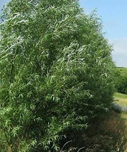 15 HYBRID WILLOW TREES Austree grows 10 ft/year THICK hedge privacy fence starts