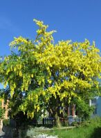 LABURNUM  OR GOLDEN CHAIN TREE- enough for an arch.   4 packs!!