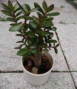 Geldbaum Pfenningbaum  Crassula Feng Shui Glücksbringer bewurzelt im Topf 20 cm