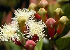 100ml Clove TINTURA 1:4 25% L. Syzygium Aromaticum
