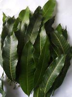 60++ Fresh Dried Mango leaves 100% ORGANIC Medicine Natural