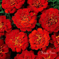FRENCH MARIGOLD - Double Brocade Red - 1050 SEEDS - Tagetes Nana - FLOWER