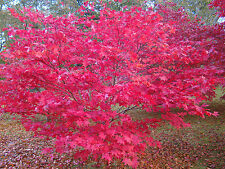 Japanese Maple ACER PALMATUM hardy garden tree shade plant, 1 year old, 20cm