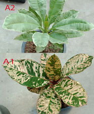 Frangipani Variegated 7to12inch Grafted Root 2Plants Free phytosanitary Plumeria