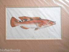 Antiquarian Three Spotted Wrasse Fish Print c1880 Hand Coloured, Fishes/Angling