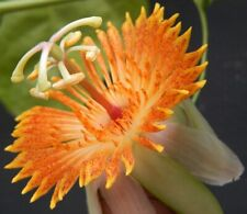 PASSIFLORA PITTIERI - 10 Seeds