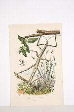 Gravure ancienne v 1840 Histoire naturelle GUERIN Insectes PHASMES/ PHILODROME