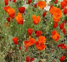 500 California Poppy Seeds Red Chief Poppy NURSERY SEEDS
