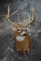 SKU 1509 Whitetail Deer Taxidermy Shoulder Mount 14 point Buck