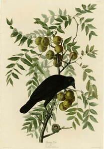 John James Audubon American Crow Giclee Art Paper Print Poster Reproduction