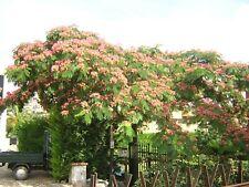 ALBIZIA JULIBRISSIN alveolo 1 pianta Acacia di Costantinopoli  fiori miele