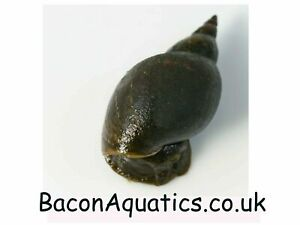 10 Great Pond Snails, Small snails but grow very fast under correct conditions