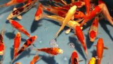 """12-Assorted 5""""-6"""" Standard Fin Live Koi Fish Live Koi Koi Fish Koi"""