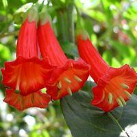 Rare RED Iochroma! - Spectacular Brugmansia relative - Live plant